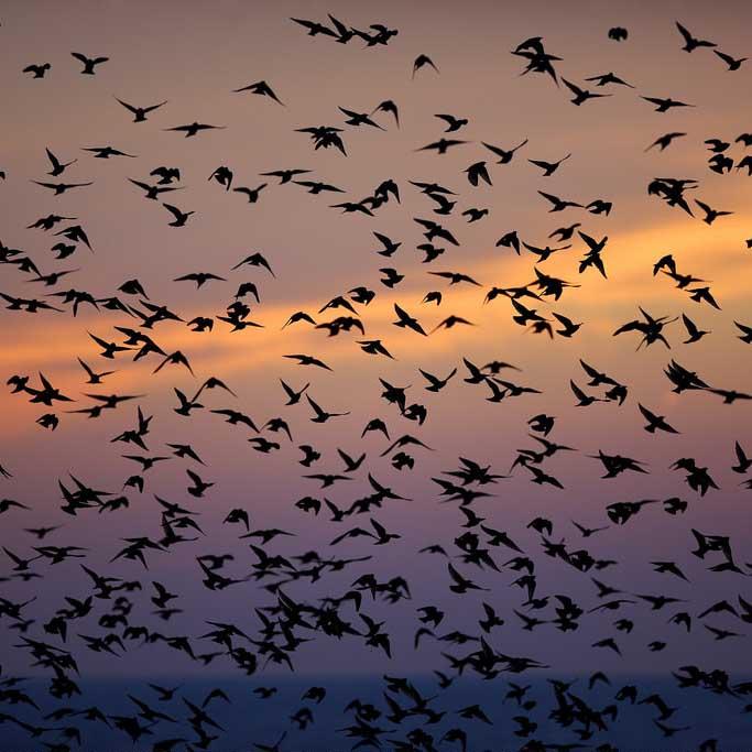 Starlings in Brighton